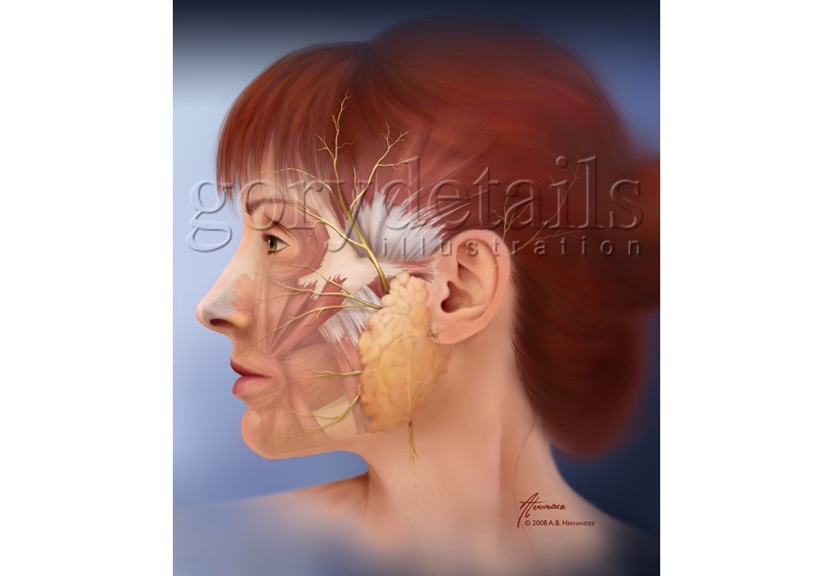 Auriculotemporal Branch of the Facial Nerve (VII)