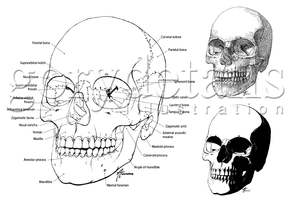 Human skull in pen & ink with anatomical structures labelled.
