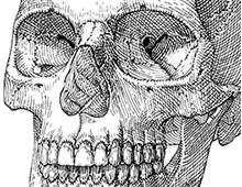 Human Skull Series